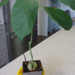 Avocado Plants