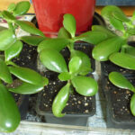 Easy to Grow Jade Plants